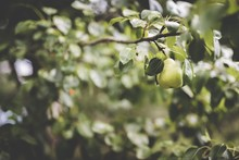 Closeup Shot Of A Green Pear Attached To A Branch With A Blurred Natural Background