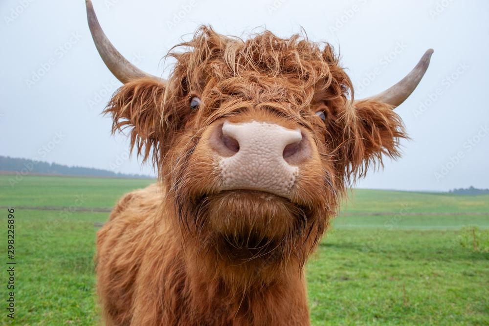 Fototapeta Galloway-Rinder auf Weide: Portrait / Blick