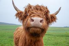 Galloway-Rinder Auf Weide: Por...