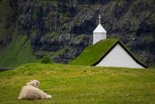 Sheep Laid Down Looking At Sak...