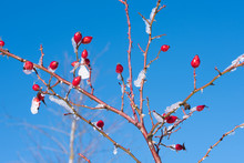 Closeup Of A Rosehip Bush With Thorns And Red Fruit