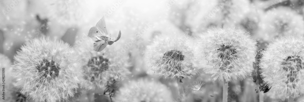 Fototapety, obrazy: Dreamy dandelions blowball flowers, seeds fly in the wind and butterfly against sunlight. Vintage black and white toned. Macro soft focus. Image of spring. Nature greeting card panoramic background