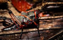 Black And Red Grasshopper (Cae...
