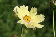 "Yellow ""Lemonade"" Cosmos Flower In The Garden On Summer Season. Cosmos Bipinnatus"