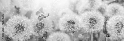 Photo sur Toile Fleuriste Dreamy dandelions blowball flowers, seeds fly in the wind and butterfly against sunlight. Vintage black and white toned. Macro soft focus. Image of spring. Nature greeting card panoramic background