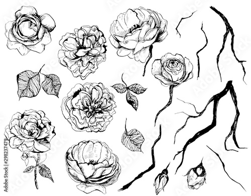 Fototapety, obrazy: Hand drawn graphic floral set with roses, leaf and twigs. Isolated elements on white background