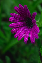 Beautiful Purple African Daisy...