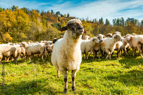 Foto op Aluminium Schapen Sheep Flock or Herd on Green Pasture Outdoor at Sunny Fall Day