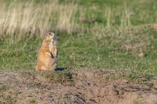 A Prairie Dog Standing In The ...