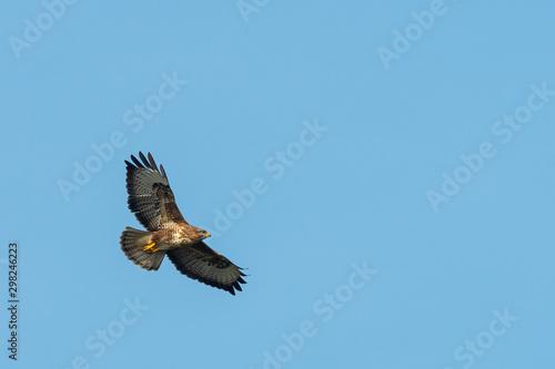 A common buzzard flying in the evening sun Wallpaper Mural