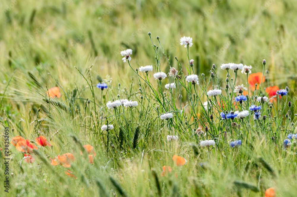 Fototapeta Weiße und blaue Kornblumen in einem Getreidefeld