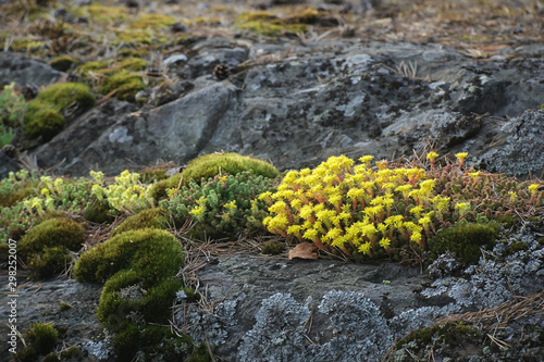 Sedum acre, known as the goldmoss stonecrop, mossy stonecrop, goldmoss sedum, bi Canvas Print