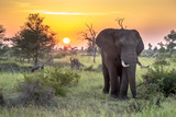 Fototapeta Sawanna - African Elephant walking at sunrise