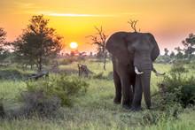 African Elephant Walking At Sunrise