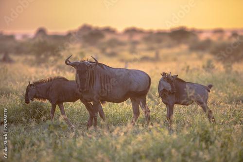 Foto auf Gartenposter Cappuccino Savanna Orange morning light with three wildebeests on S100 Kruger