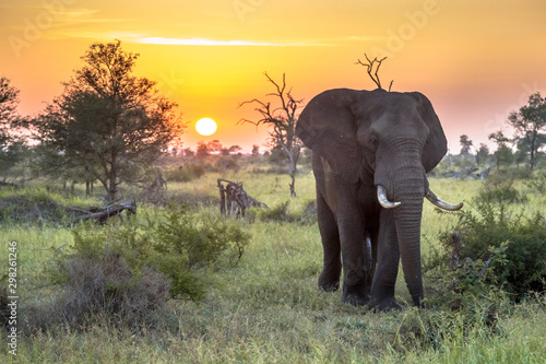 African Elephant walking at sunrise