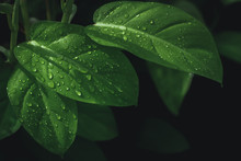 Leaves That Are Juicy After The Rain, And There Are Green Leaves In The Background