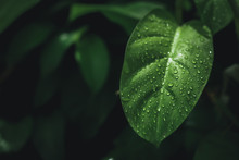 Leaves That Are Wet After The Rain, And With Green Leaves In The Background.