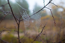 Closeup Spider Web In A Water Drops On The Bush Branch, Wet Quiet Autumn Outdoor Background