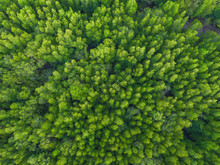 Aerial Top View Of Lush Green Trees From Above In Tropical Forest In National Park And Mountain Or Hill In Summer Season In Thailand. Natural Landscape. Pattern Texture Background.