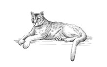 Reclining Cougar. Lying American Mountain Lion, Red Tiger, Panther Animal. Puma Predator In Zoo, Vector Illustration, Hand Drawn Sketch Art.