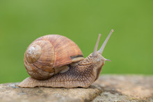 Burgundy Snails (Helix Pomatia) Closeup, With Homogeneous Blurred Green Background. Burgundy Or Edible Snail (Helix Pomatia) Is Common Big European Land Snail. Helix Pomatia - Edible Snail, Macro.