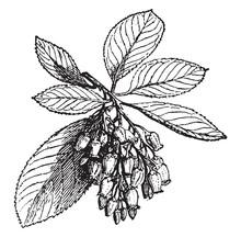 Strawberry Tree Vintage Illust...