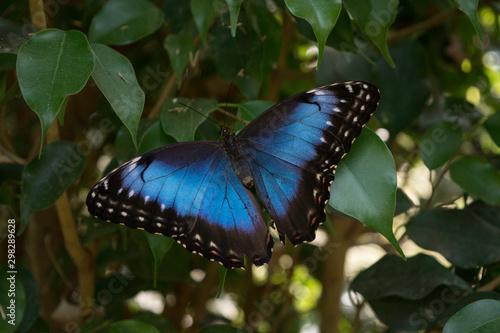 Photo jolie papillon bleu et noir