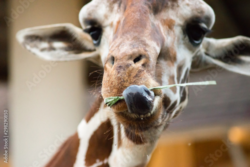 When giraffes use their lips and tongue to eat. Wallpaper Mural