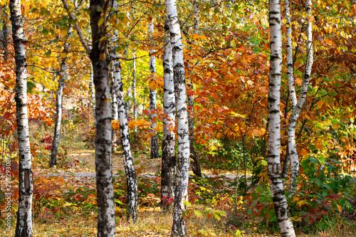 Poster Berkbosje beautiful landscape nature of, yellow birch forest and sun