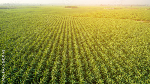 fototapeta na ścianę Sugar Cane farm. Sugar cane fields view from the sky. Drone photo of cane sugar. Sugarcane field in blue sky and white cloud. Aerial view or top view of Sugarcane or agriculture.
