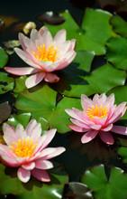 Pink Lotus Water Lily Flowers ...