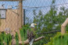 Bald Eagle At Buffalo Zoo