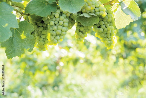 White wine grapes on the vine against blurred sunlit foliage Tablou Canvas