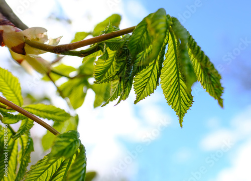 Young chestnut tree leaves seen in early spring against a near clear blue sky Wallpaper Mural