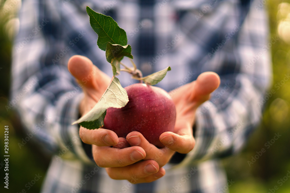 Fototapety, obrazy: male farmer holding a gathered organic red apple with leaf in hands