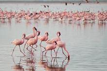The Lesser Flamingoes (Phoenic...