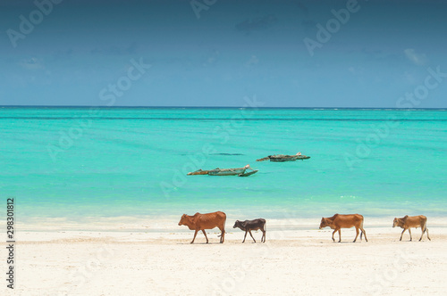Foto auf Leinwand Reef grun Family of Zebu cattle walking along the beach of Zanzibar, Tanzania.