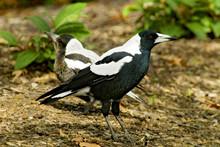The Australian Magpie (Cractic...
