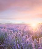 Sunset sky over a summer lavender field. Sunset over a violet lavender field in Provence, France. - 298302683