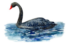 Black Swan On An Isolated White Background,  Watercolor Illustration