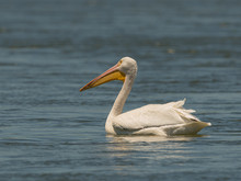 American White Pelican Searches For Food.