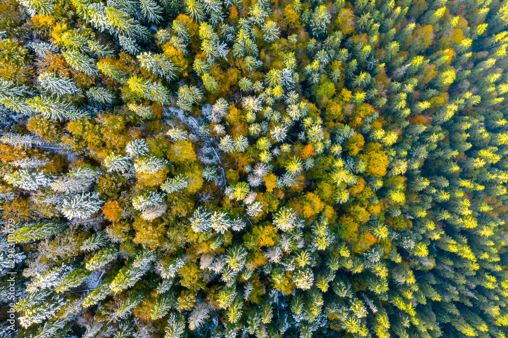 Fototapety, obrazy: Golden autumn drone view of forest landscape with yellow trees from above