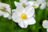 Closeup view of a beautiful white flower of an anemone hupehensis with yellow center on a blurred background of the same flowers