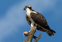 Osprey Perched On A Branch
