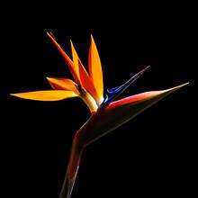 Bird Of Paradise Flower Closeup