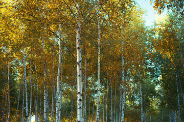 Panel Szklany Do salonu Birch tree forest in autumn, vintage filter applied