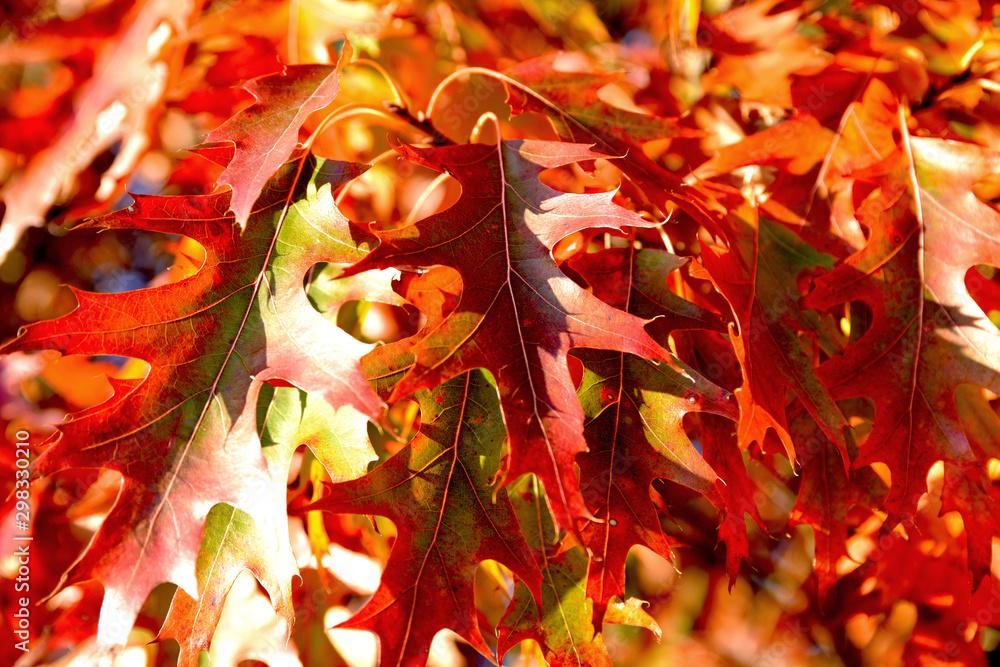 Fototapeta liście dębu czerwonego jesienią