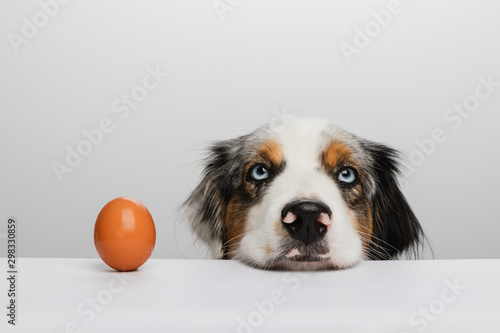 Fotomural Australian Shepherd - Ei