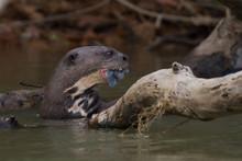 Giant River Otter Eating Fish